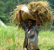 paddy farmers