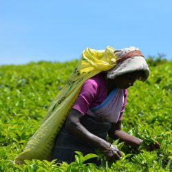 When Tea and Sympathy is not Enough… A Living Wage for Sri Lanka's Plantation Workers