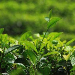 COVID-19: a wake-up call for Sri Lanka's tea industry